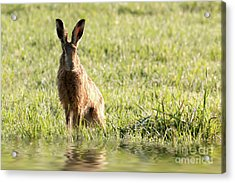 Wild Hare Sat Next To Water Acrylic Print