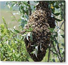 Wild Honey Bees Acrylic Print