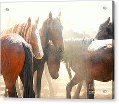 Wild Horses - Australian Brumbies 2 Acrylic Print
