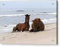 Wild Horses Of Assateague Island Acrylic Print by Edward Kreis