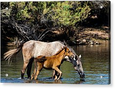 Wild Horses On The Salt River Acrylic Print