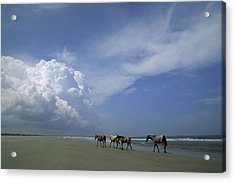 Wild Horses Roaming A Georgia Coast Acrylic Print by Michael Melford