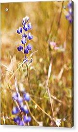 Wild In The Field II Acrylic Print