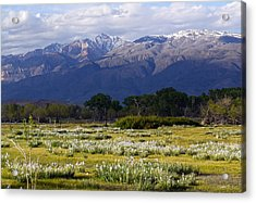 Wild Iris And The White Mountains Acrylic Print