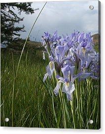 Wild Iris II Acrylic Print by Susan Pedrini