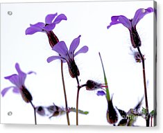 Wild Knotted Cranesbill Acrylic Print