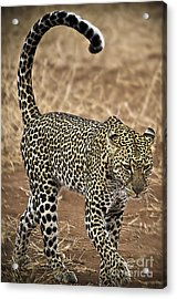 Wild Lady Acrylic Print by Alessandro Giorgi Art Photography