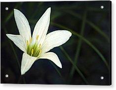 Wild Lily Acrylic Print by Carolyn Marshall