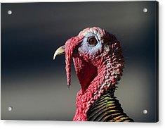 Wild Merriams Turkey Portrait  Acrylic Print