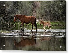 Wild Mother And Foal Horses Walk In The Salt River  Acrylic Print