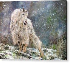 Wild Mountain Goat Acrylic Print
