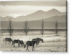 Wild Mountain Horses - Black And White Acrylic Print by Gregory Ballos