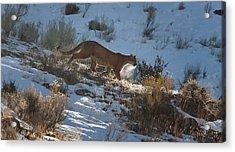 Wild Mountain Lion Running At First Light Acrylic Print