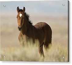 Wild Mustang Colt Acrylic Print