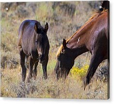 Wild Mustang Foal And Mare Acrylic Print