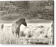 Wild Mustang Of Adobe Valley Eastern Sierra Acrylic Print
