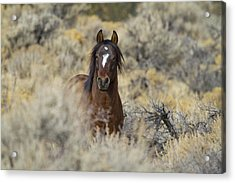 Wild Mustang Stallion Acrylic Print