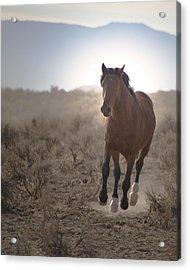 Wild Mustang Stallion Running Acrylic Print