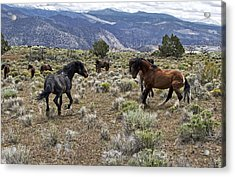 Wild Mustang Stallions Fighting Acrylic Print