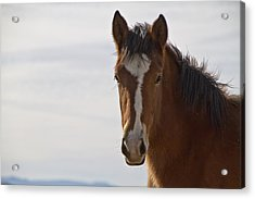 Wild Mustang Yearling Acrylic Print