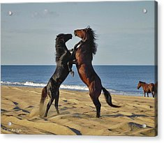 Wild Mustangs Battling On The Beach Acrylic Print