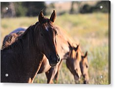 Acrylic Print featuring the photograph Wild Mustangs by Kate Purdy