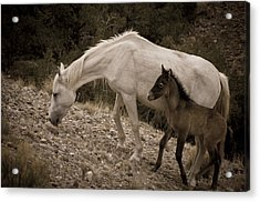 Wild Mustangs Of New Mexico 22 Acrylic Print