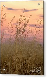 Acrylic Print featuring the photograph Wild Oats by Linda Lees