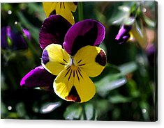 Wild Pansy Acrylic Print by Don  Wright