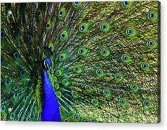 Wild Peacock Acrylic Print