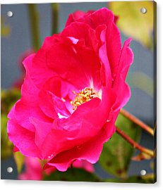 Wild Pink Rose Acrylic Print by Cathie Tyler