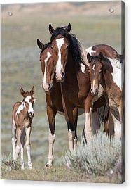 Wild Pinto Family Acrylic Print by Carol Walker