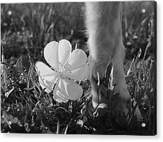 Wild Primrose With Dog's Foot Acrylic Print