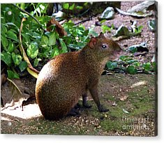 Acrylic Print featuring the photograph Wild Rodent  by Francesca Mackenney