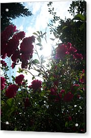 Wild Rose Shine Acrylic Print by Ken Day
