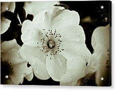 Wild Roses Acrylic Print by Frank Tschakert