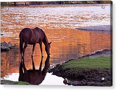 Acrylic Print featuring the photograph Wild Salt River Horse At Saguaro Lake by Dave Dilli