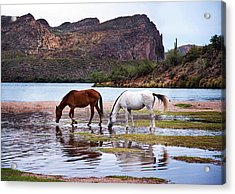 Acrylic Print featuring the photograph Wild Salt River Horses At Saguaro Lake Arizona by Dave Dilli