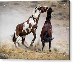 Wild Stallion Battle - Picasso And Dragon Acrylic Print by Nadja Rider