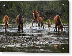 Wild Stallion In Salt River Acrylic Print