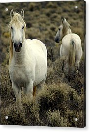 Wild Stallion Acrylic Print by Marty Koch