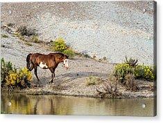 Acrylic Print featuring the photograph Wild Stallion Of Sand Wash Basin, Raindance by Nadja Rider