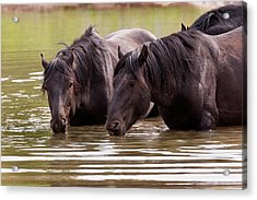 Wild Stallions At The Water Hole Acrylic Print
