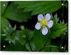 Wild Strawberry Blossom And Raindriops Acrylic Print