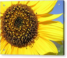 Wild Sunflower Acrylic Print