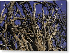 Wild Tangled Tree Roots Acrylic Print by Garry Gay