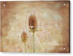 Wild Teasel Acrylic Print