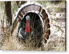 Acrylic Print featuring the photograph Wild Turkey by Frank Stallone