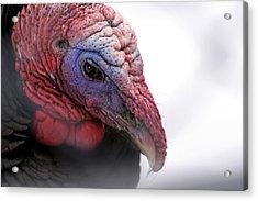 Wild Turkey Head Portrait Acrylic Print by Laurie With