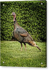Wild Turkey Acrylic Print by Kelley King